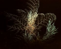 Basket Star Fully Open, night dive at